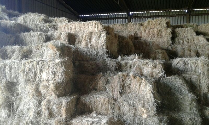 Teff bales (square) for sale