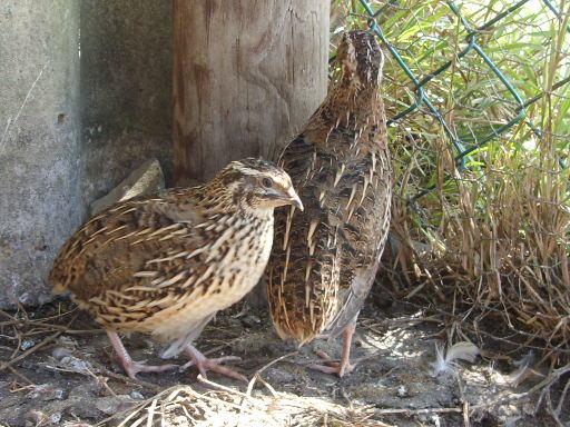 Jumbo quail Breeding Stock Point of Lay
