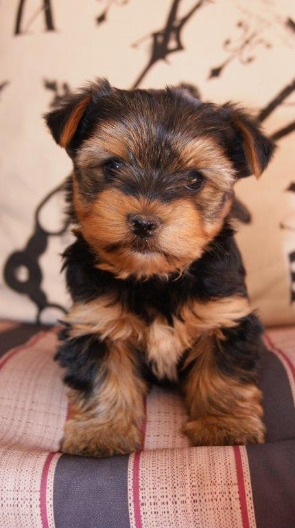 Yorksher Terrier Female Puppy