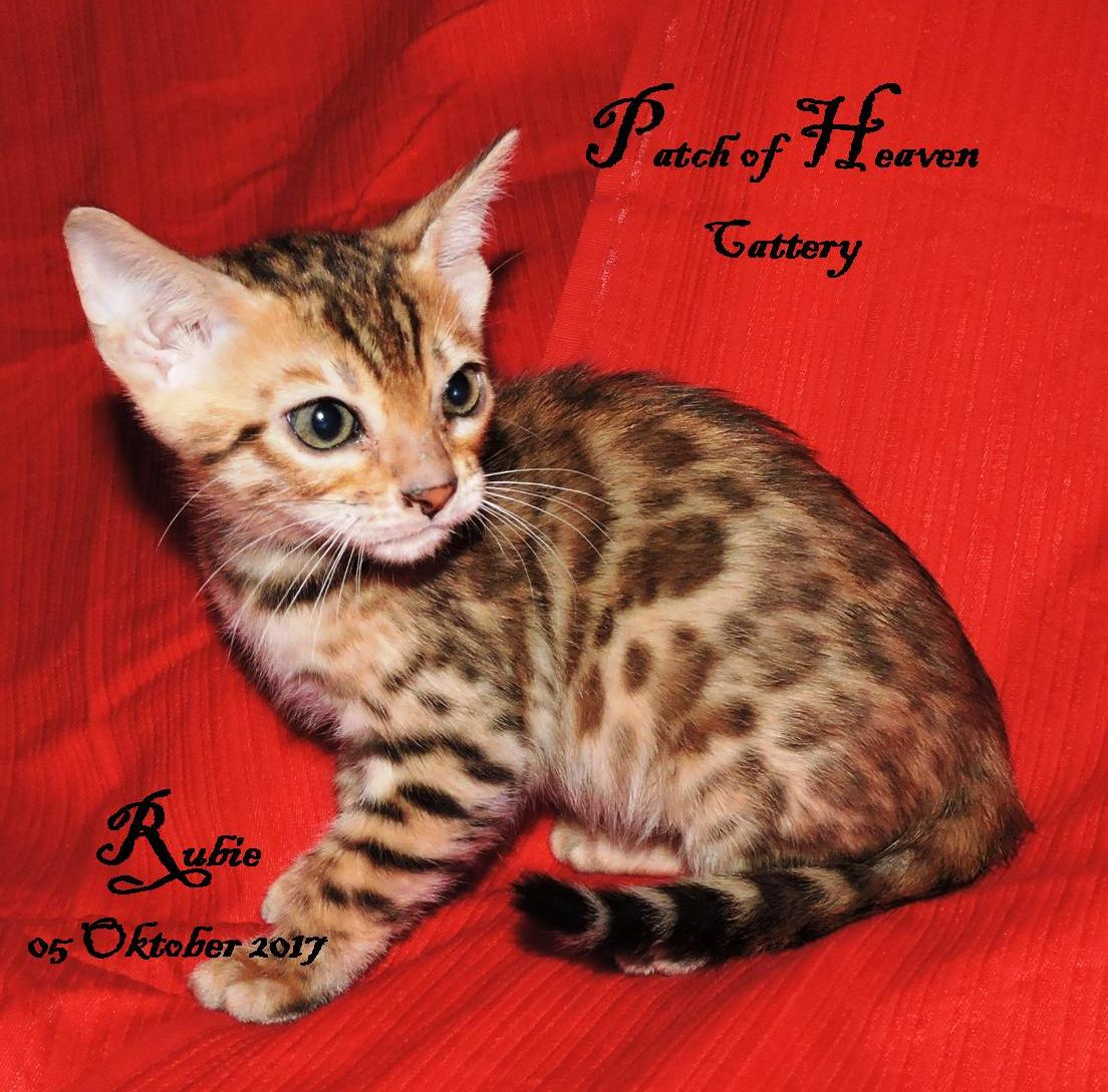 Bengal kittens for sale | Junk Mail