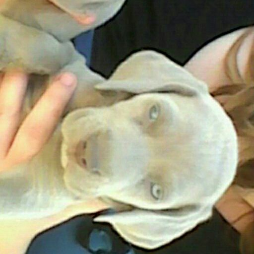 weimaraner grey ghost pups