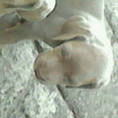 weimaraner grey ghost pups