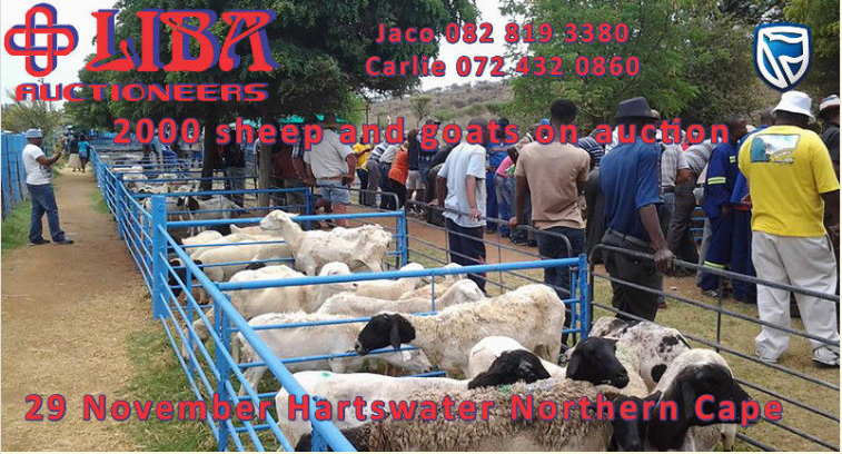 Livestock auction on the 29th of November
