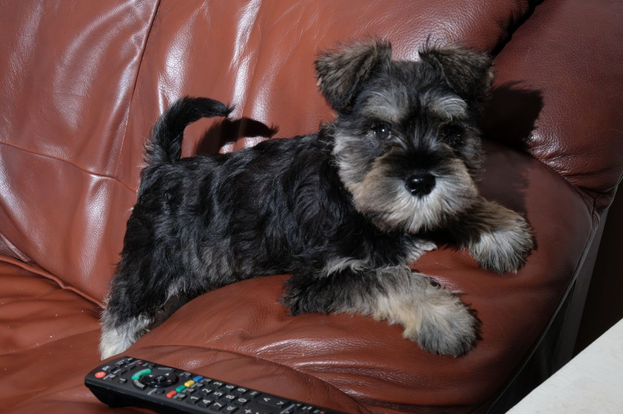 Purebred Miniature Schnauzer Puppies For Sale