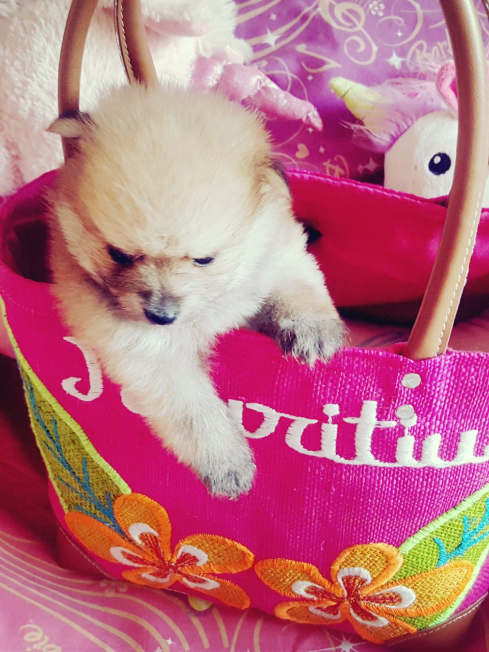 Toypom Puppies females only