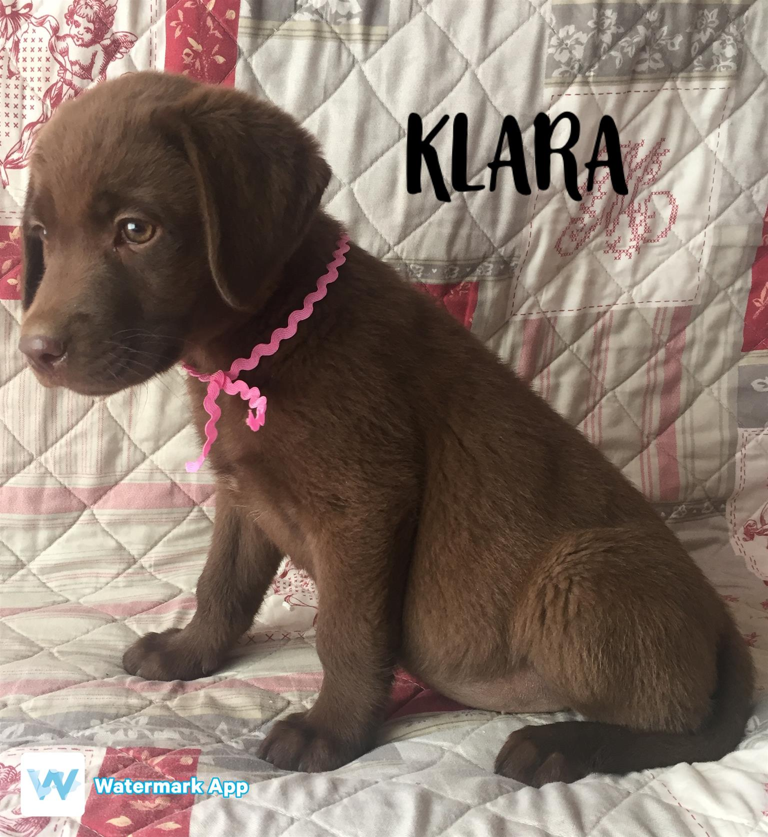 KUSA Labrador Puppies