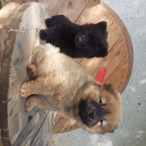 Chinese Chow Doggies