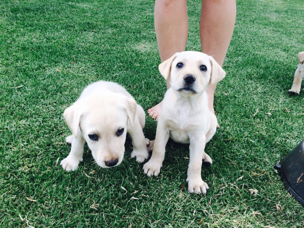Larador puppies