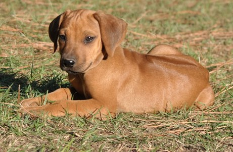 Solid Rhodesian Ridgeback Puppies