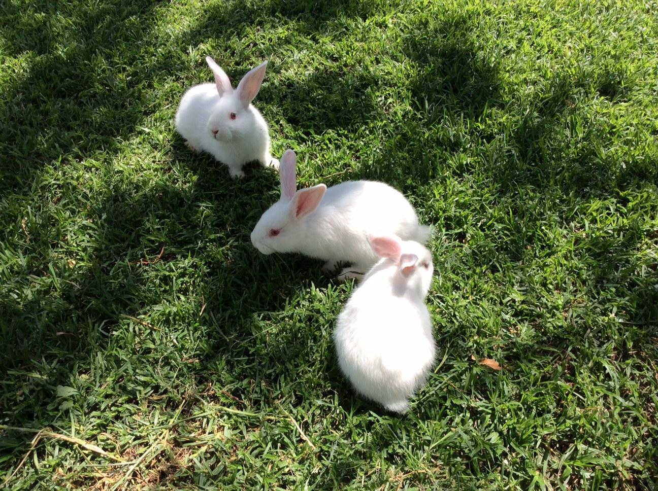 baby New Zealand rabbits available