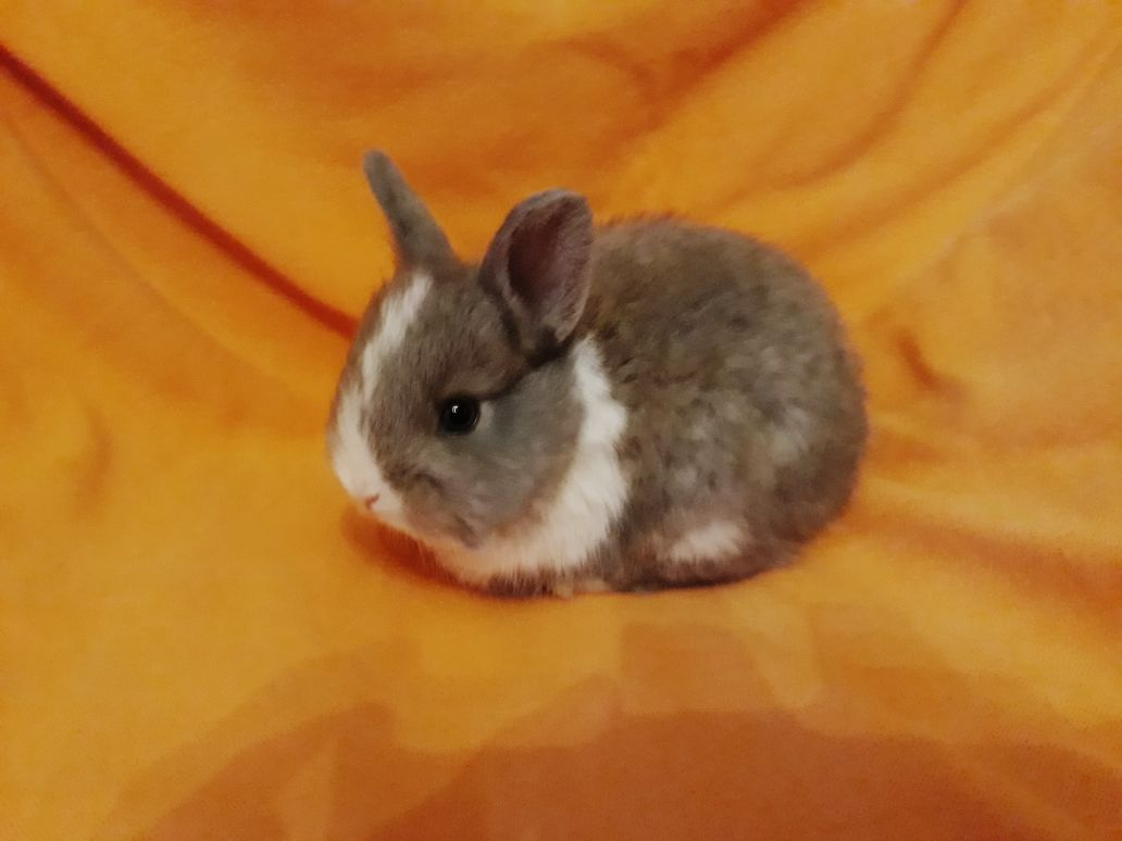 Dwarf Angora Rabbits(Jersey Woolly)