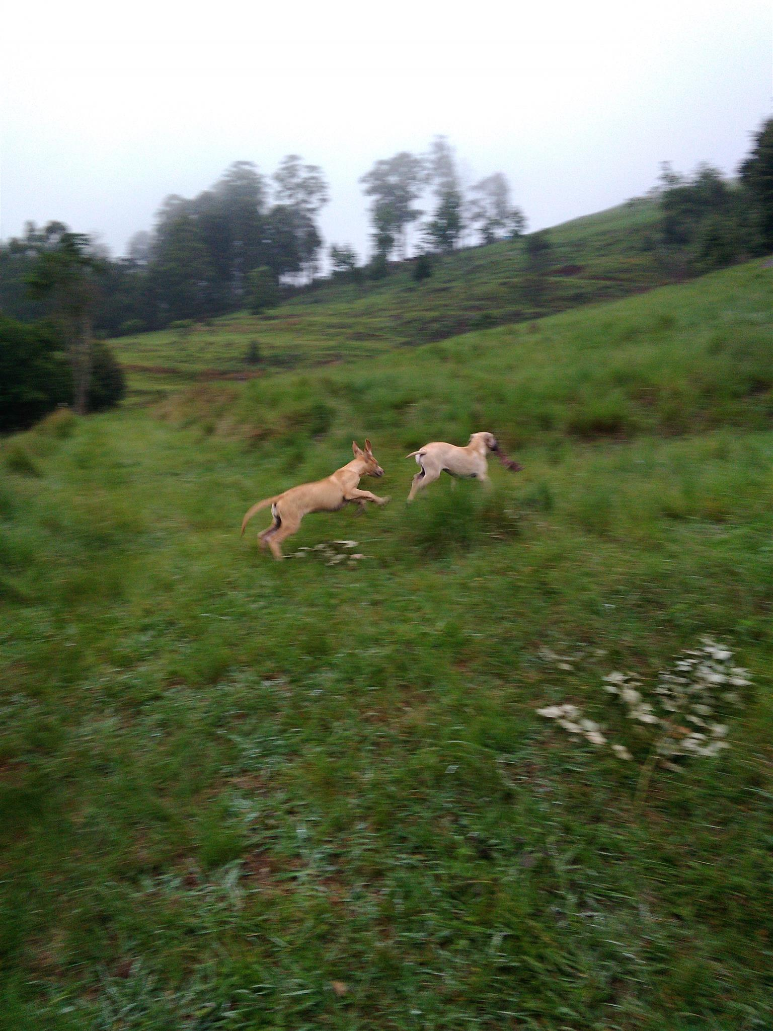 Grear Dane Puppies