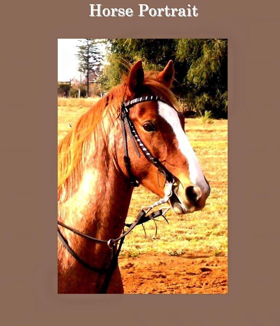 Horses, Pintos, Solid for any riderRy perde geskik vir beginners en kinders 14.1 en 14.2 hh 9 jr oud