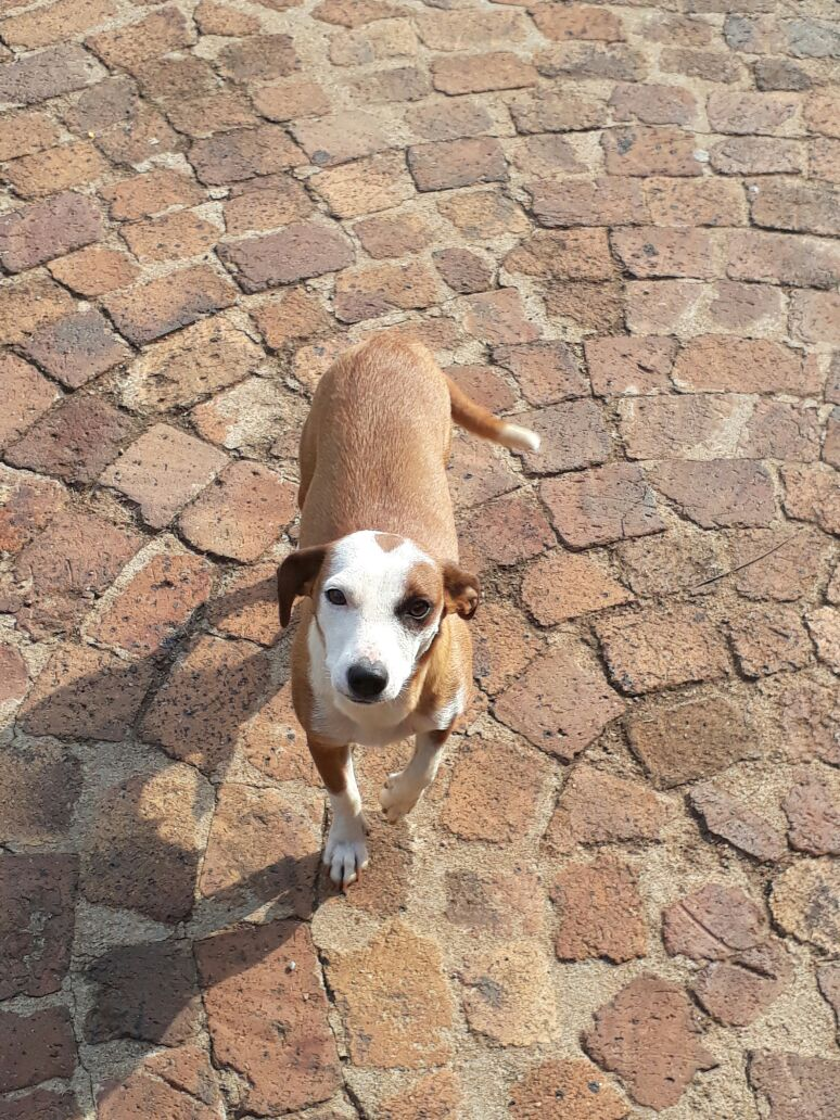 8 Month old Jack Russel female