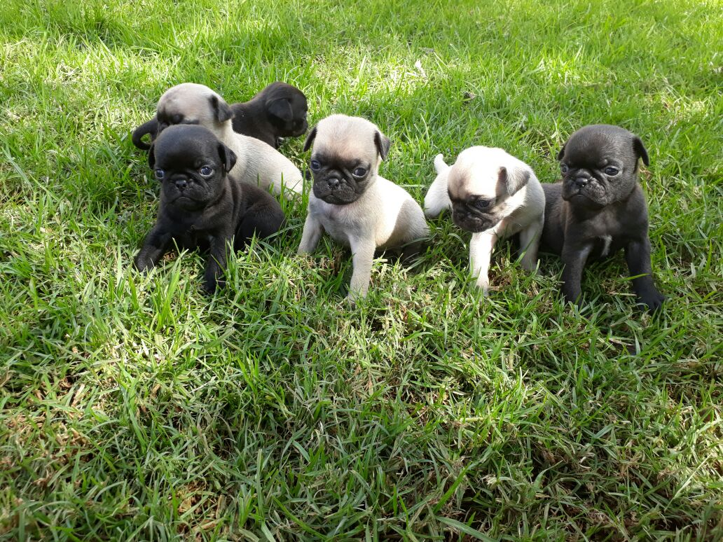 Adorable Pug puppies for sale