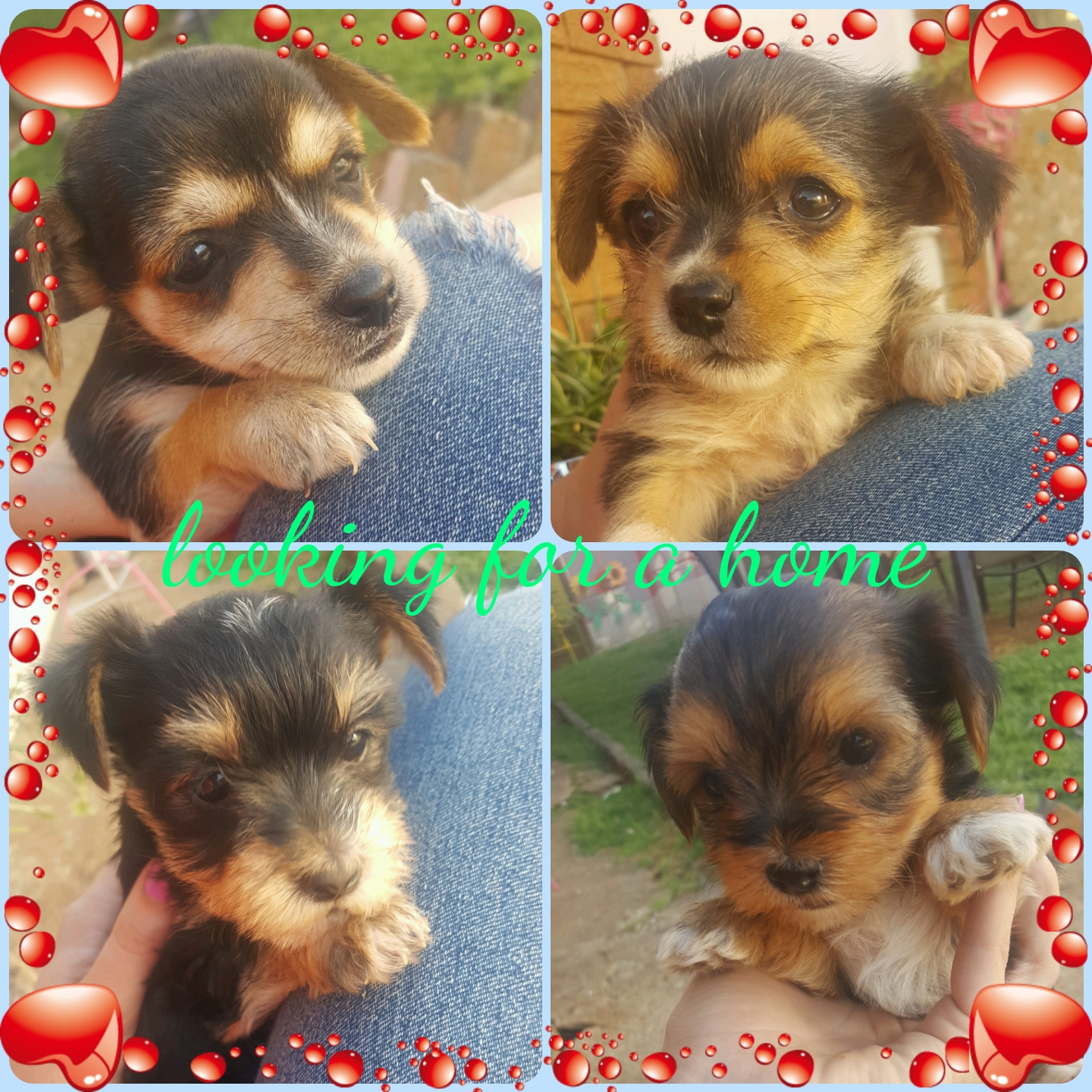 Yorkie Pups in need of a loving home.
