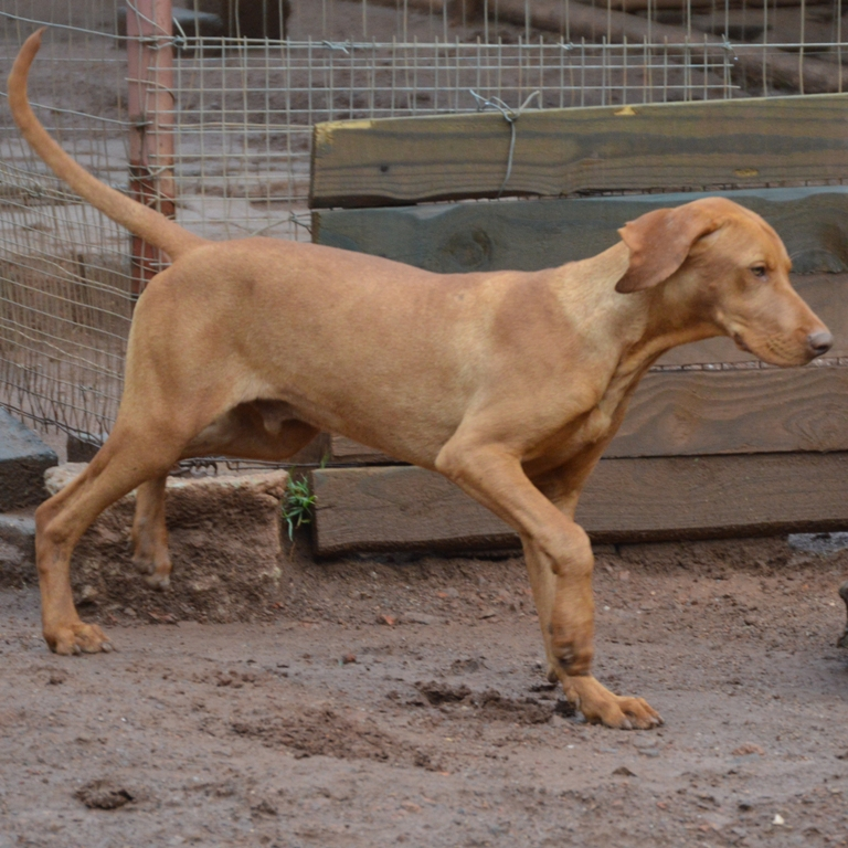 Hungarian Vizsla Male