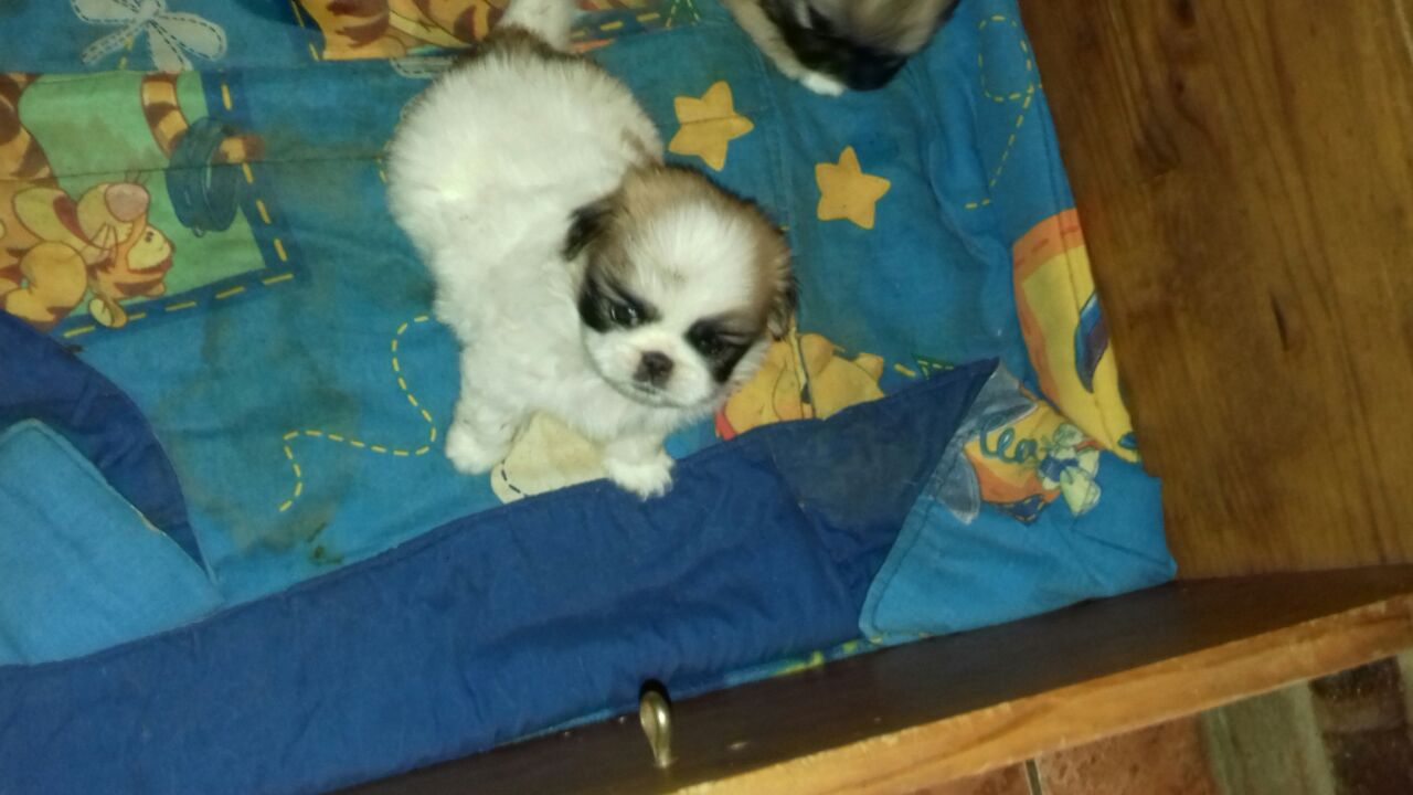 Pikengese Puppies For Sale