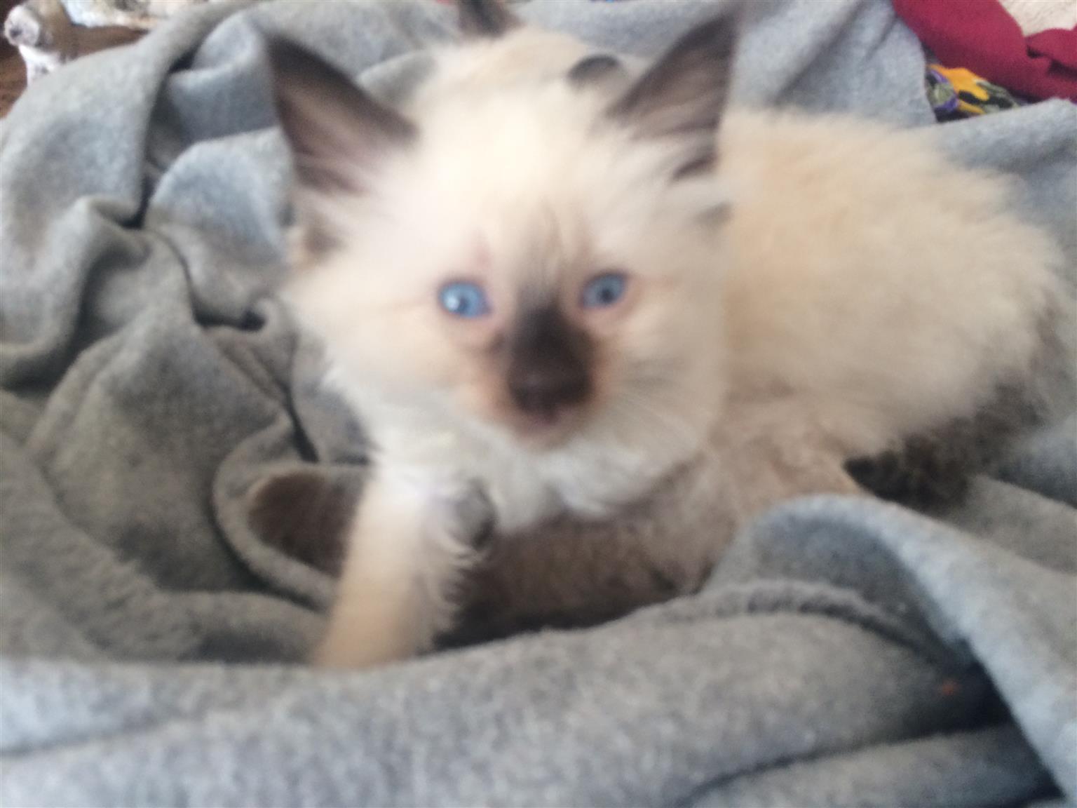 Ragdoll kitty