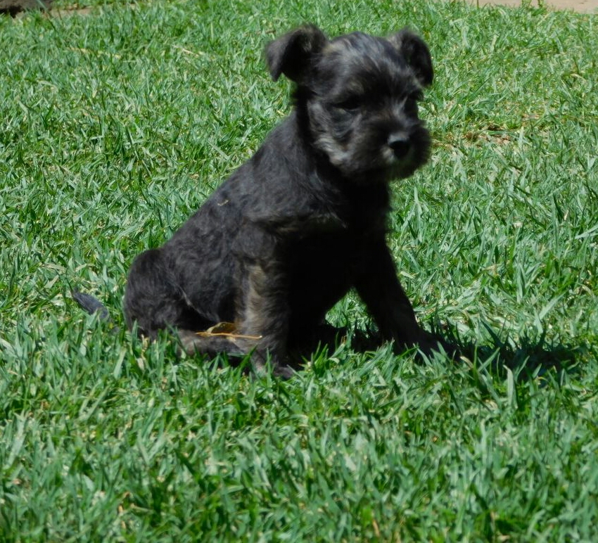 Adorable Miniature Schnauzer Puppies!