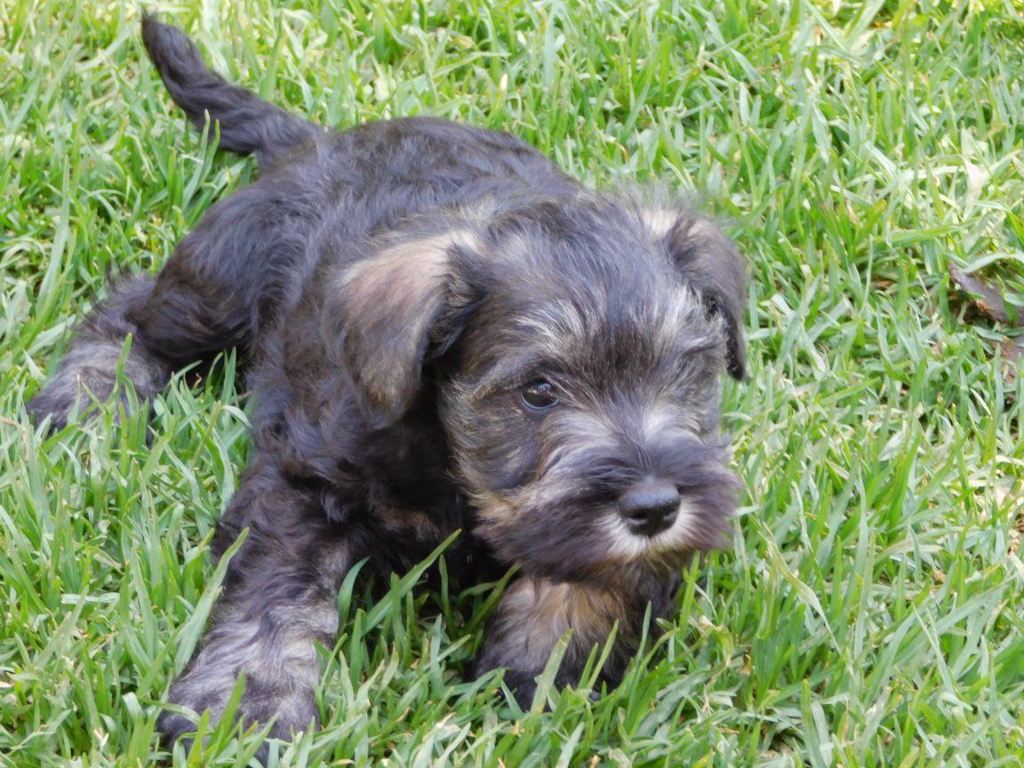 Adorable Miniature Schnauzer Puppies!