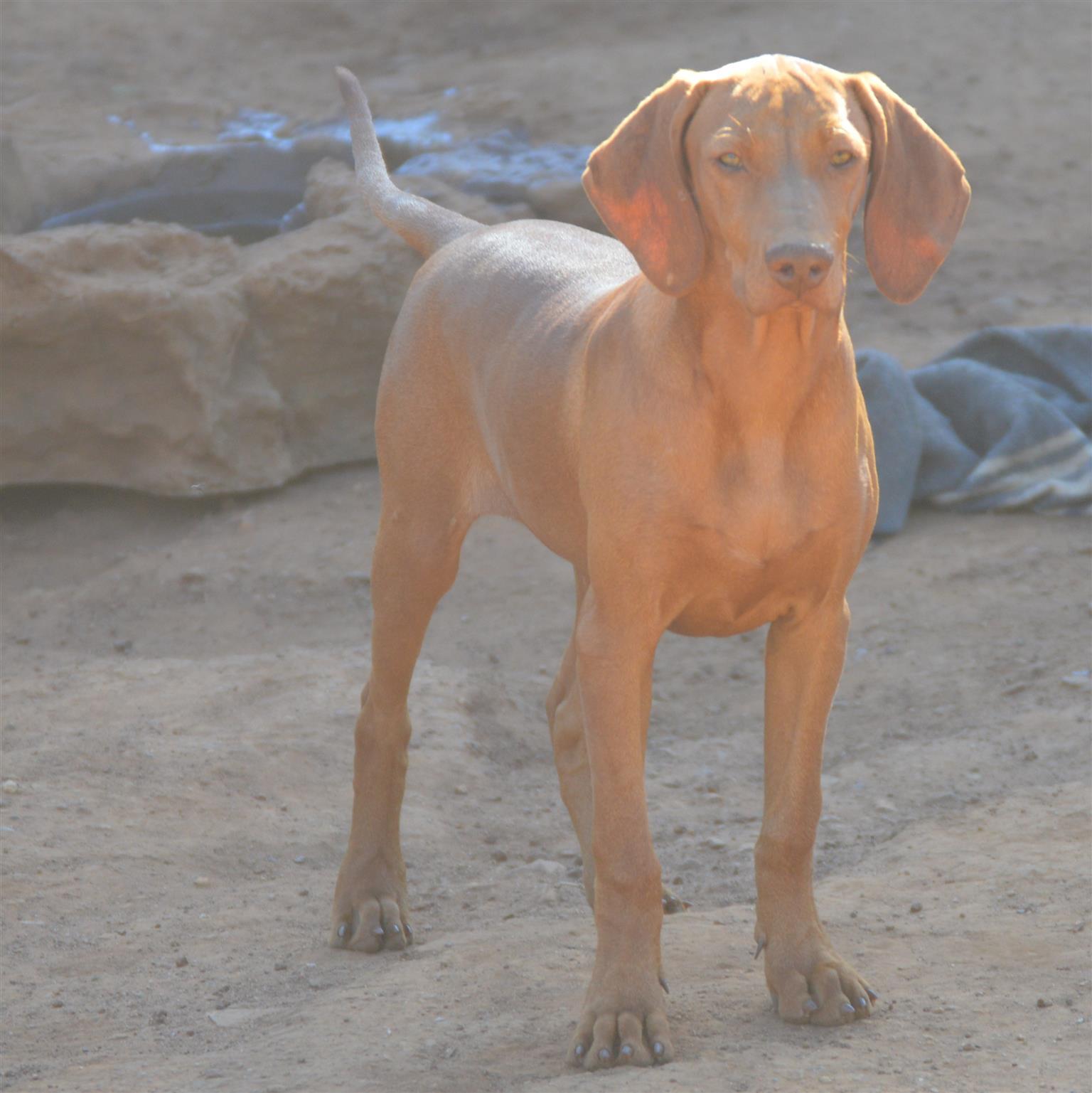 Hungarian Vizsla male puppy
