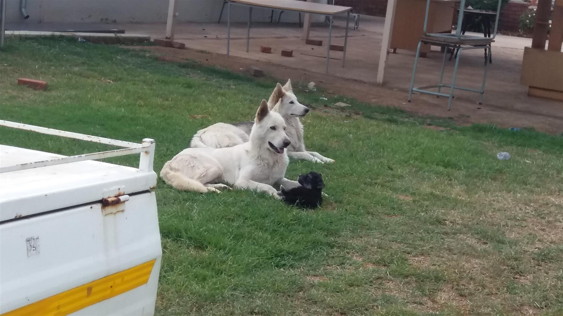 Husky cross ridgeback puppies two left