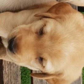 Golden retriever Labrador pup