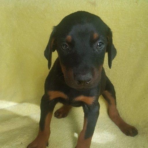 Liver and Tan/Black and tan large doberman pups
