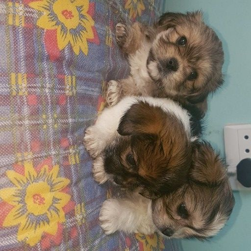 shihtzu little puppies