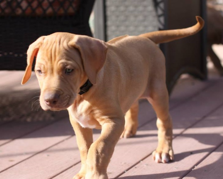 Rhodesian Ridgeback puppies for sale to loving homes.