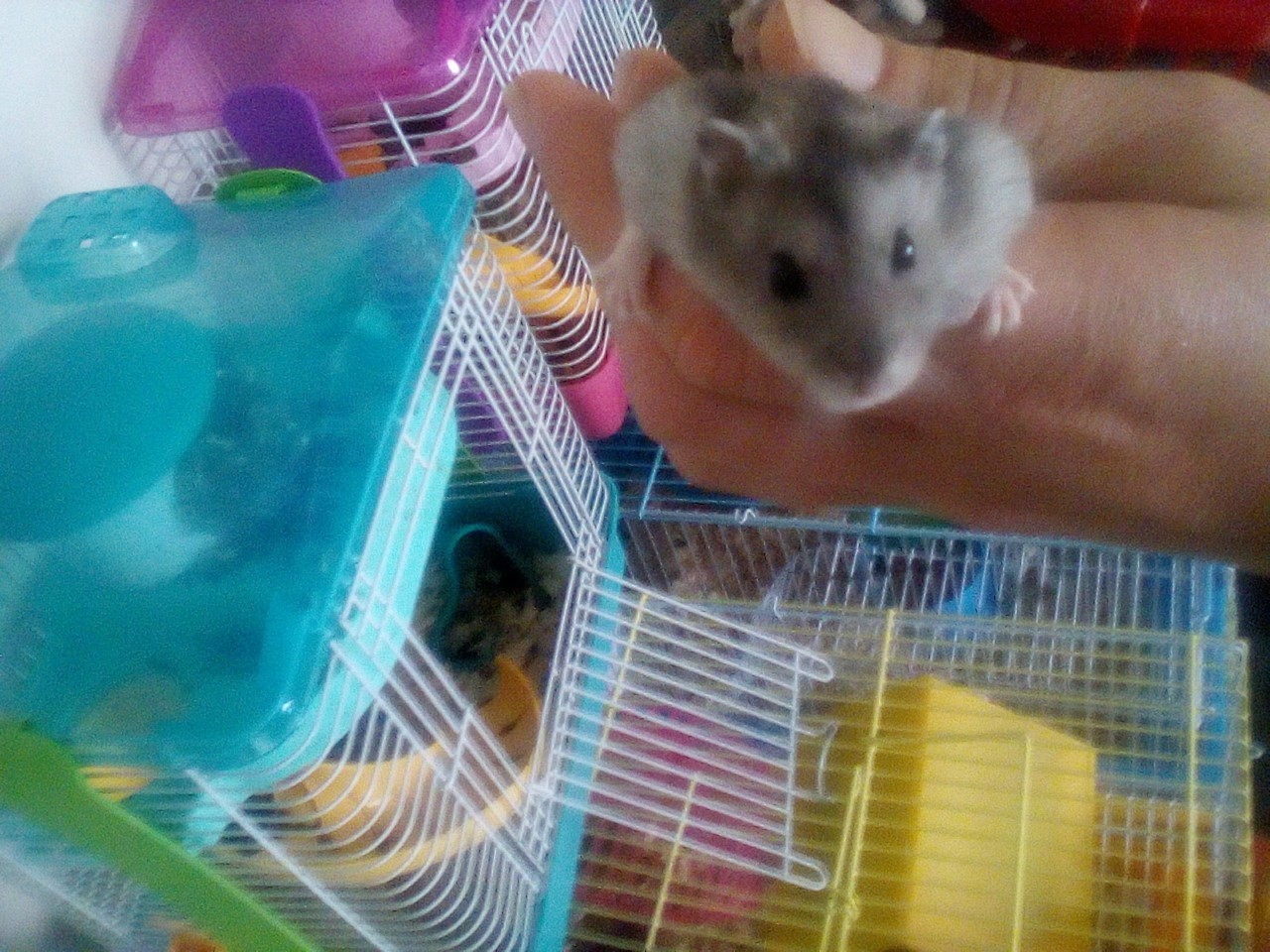 4 Russian Dwarf hamsters and their cages for sale