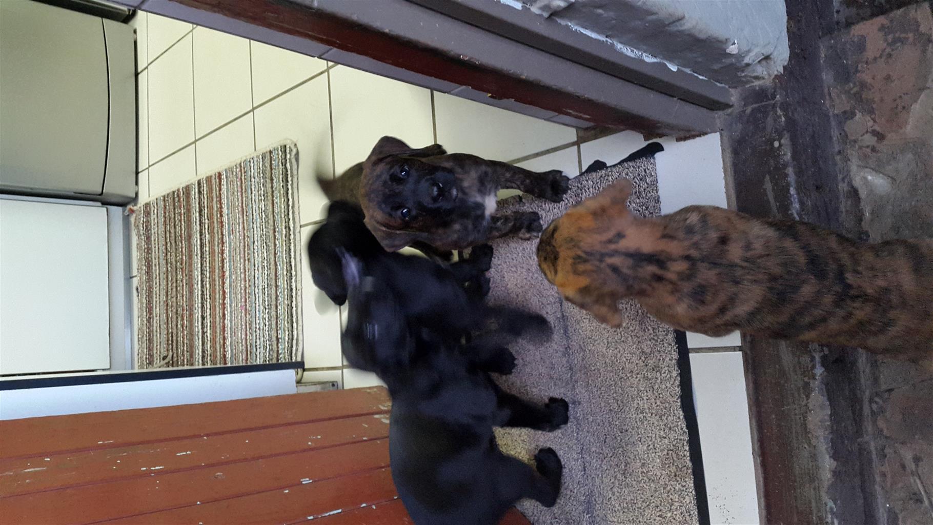 Labrador X Boxer
