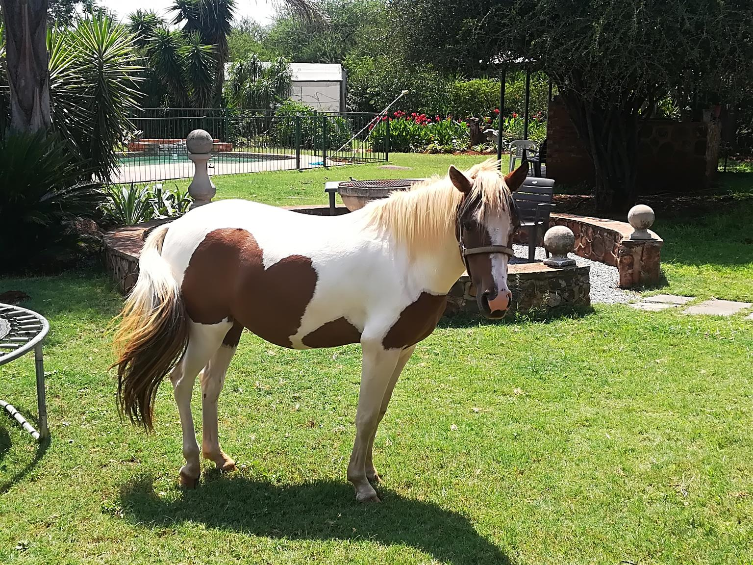 Pinto Pony cross Mare for sale