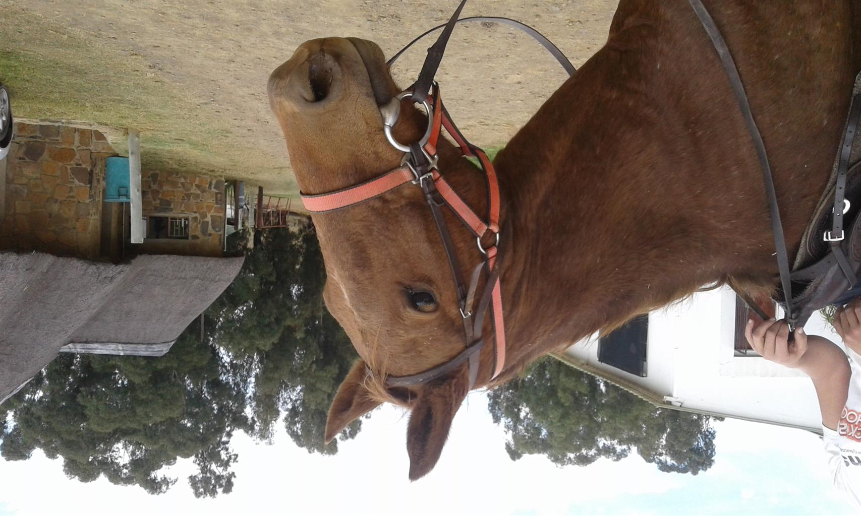 Lovely cross breed gelding