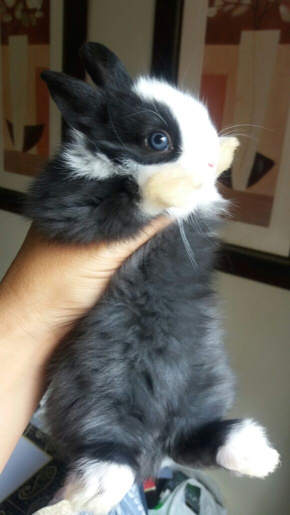 Dwarf Angora Bunnies for sale