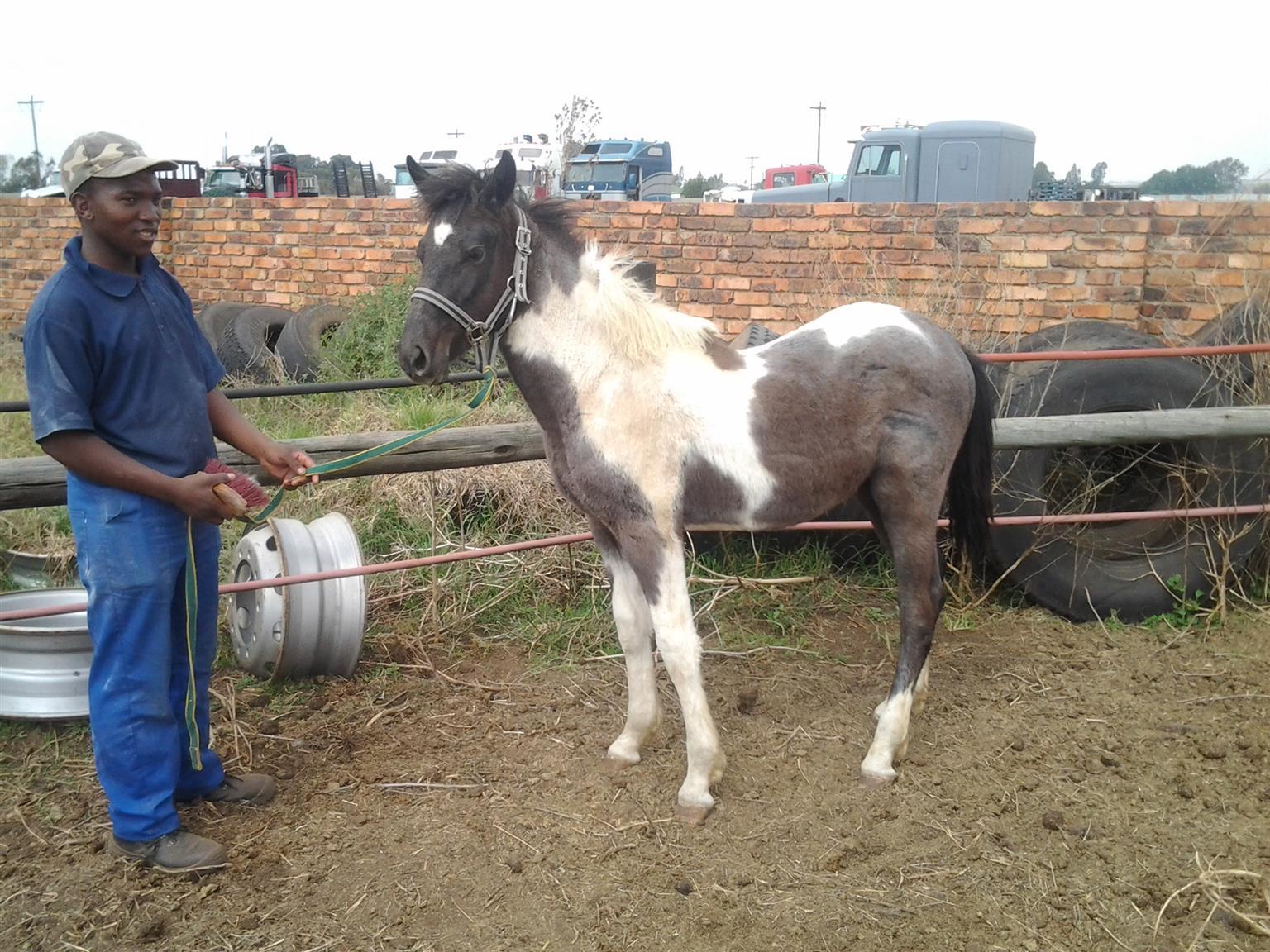 Friesian cross colt for sale