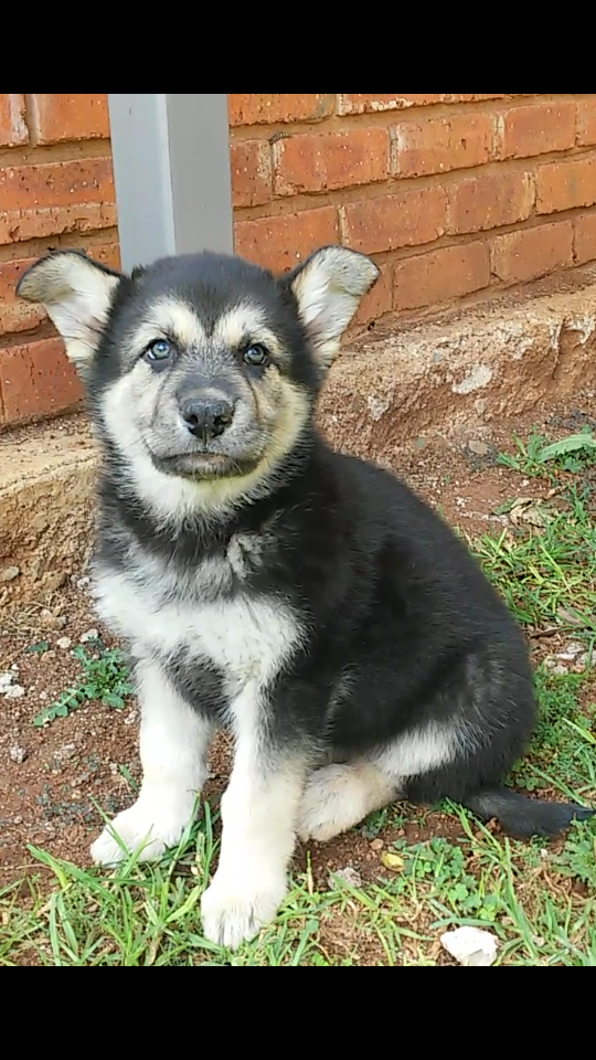 Husky x German Shepherd Puppy For Sale