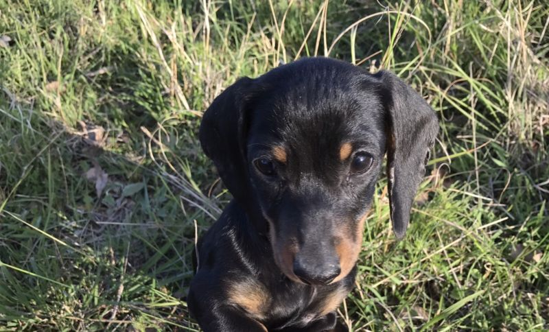 Miniature Dachshund Puppies-10 weeks