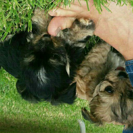 miniature morkies 2 females