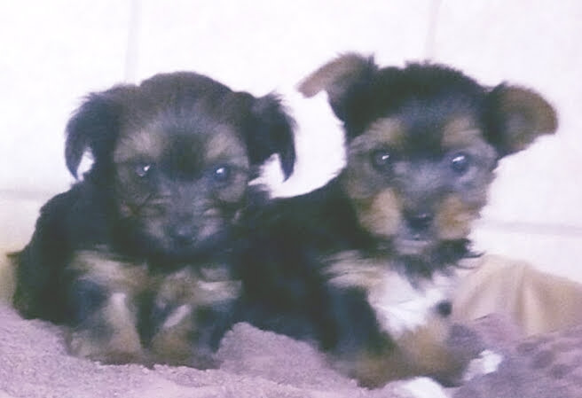 Very cute Teacup Yorkie Puppies for sale