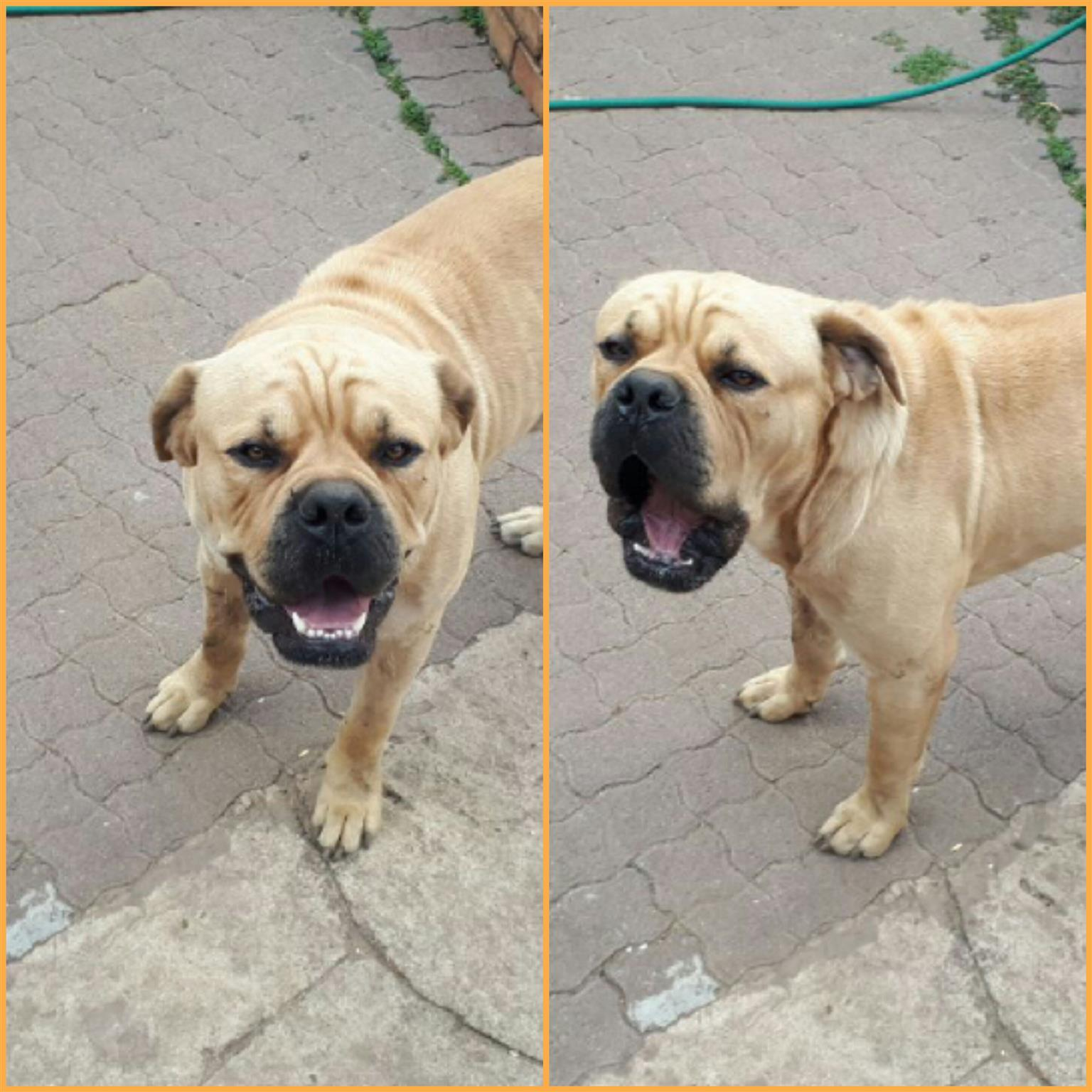1year old Bullmastiff male