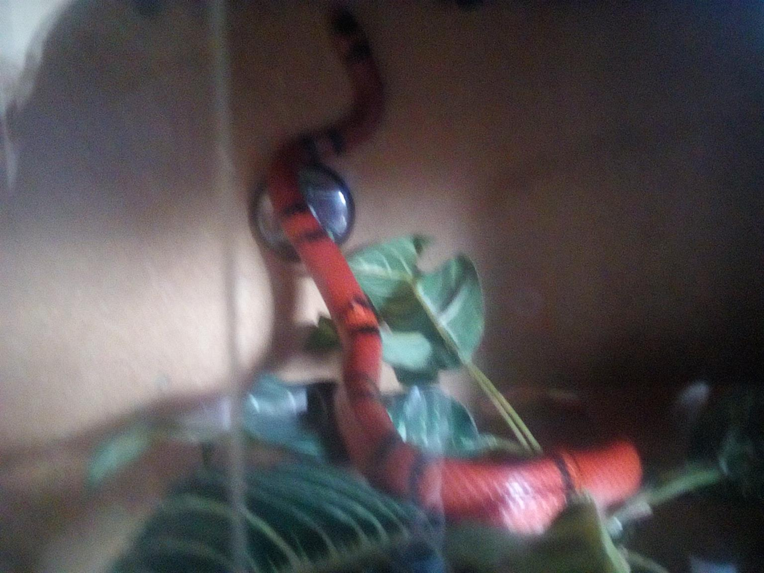 1x male and 1x female milk snake +- 1 metre long with cage.