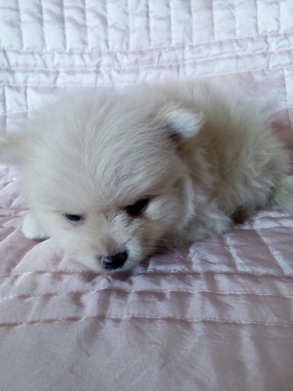 Miniature Pomeranian Male