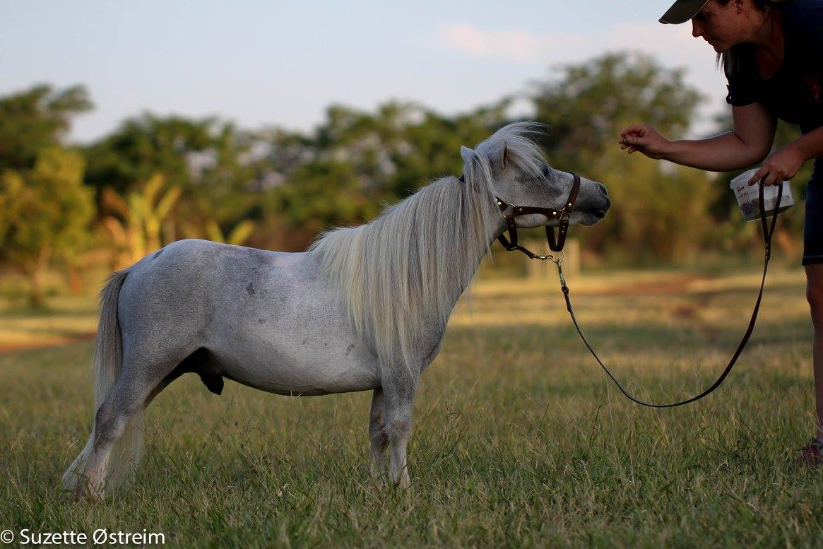 71cm 2.5yo Purebred Miniature Horse Stallion for sale