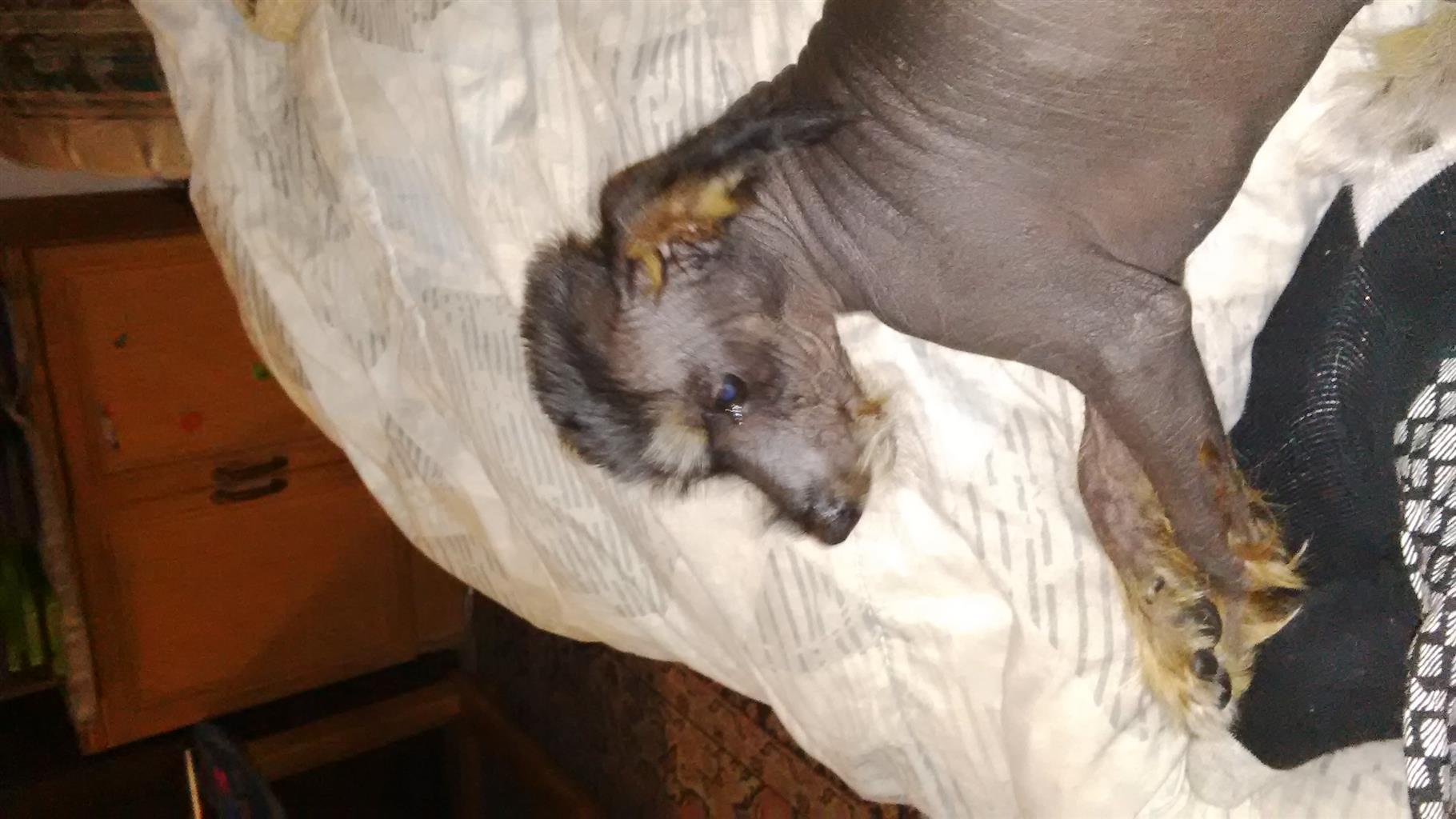 Chinese crested to loving home
