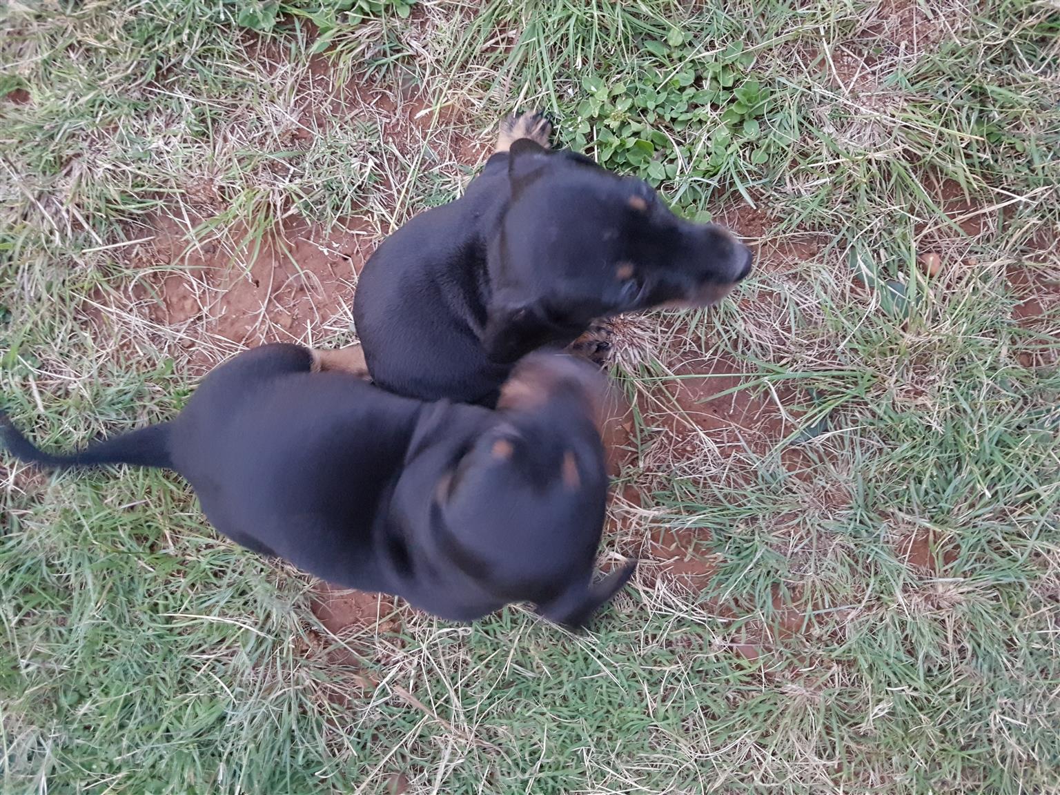 Dutchhound / Worshondjies / Daffels