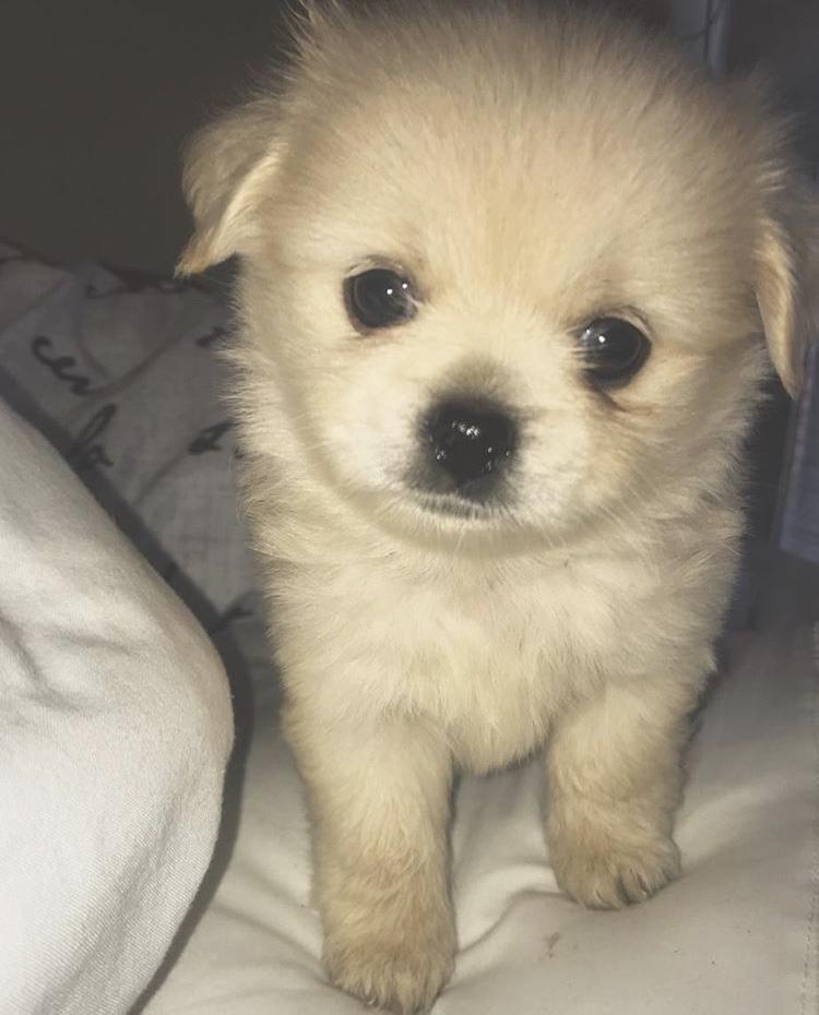 Toypom x Pekingese cross puppy 🐶