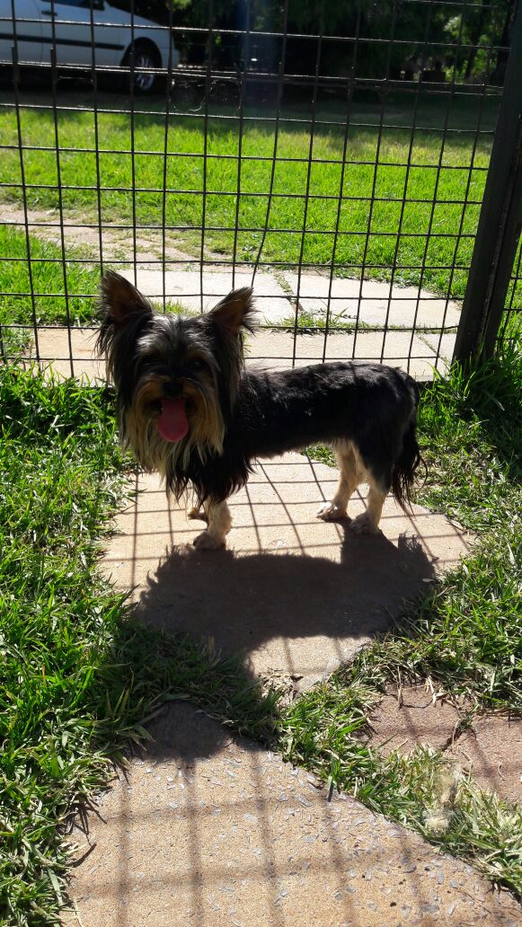 Pocketsize registered  adult Yorkie female.