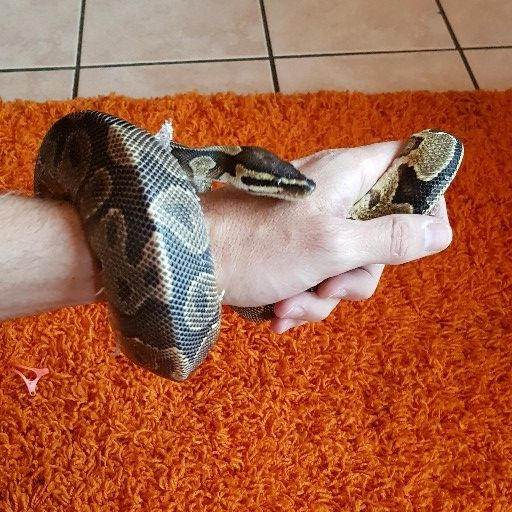 Ballpython Yellow Belly Male